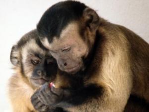 Os monos capuchinos viven en sociedades cooperativas/ Imaxe: Brosnan