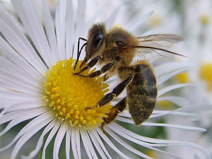 abellas
