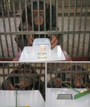 Un chimpancé fai a proba de concentración. Na imaxe inferior, fai exercicios onde se analiza a rixidez / Autor: MPI Eva