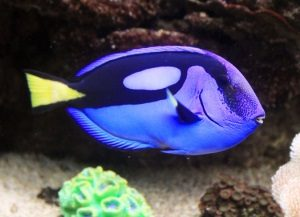dory-peixe-efecto-nemo