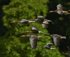 aves-voando